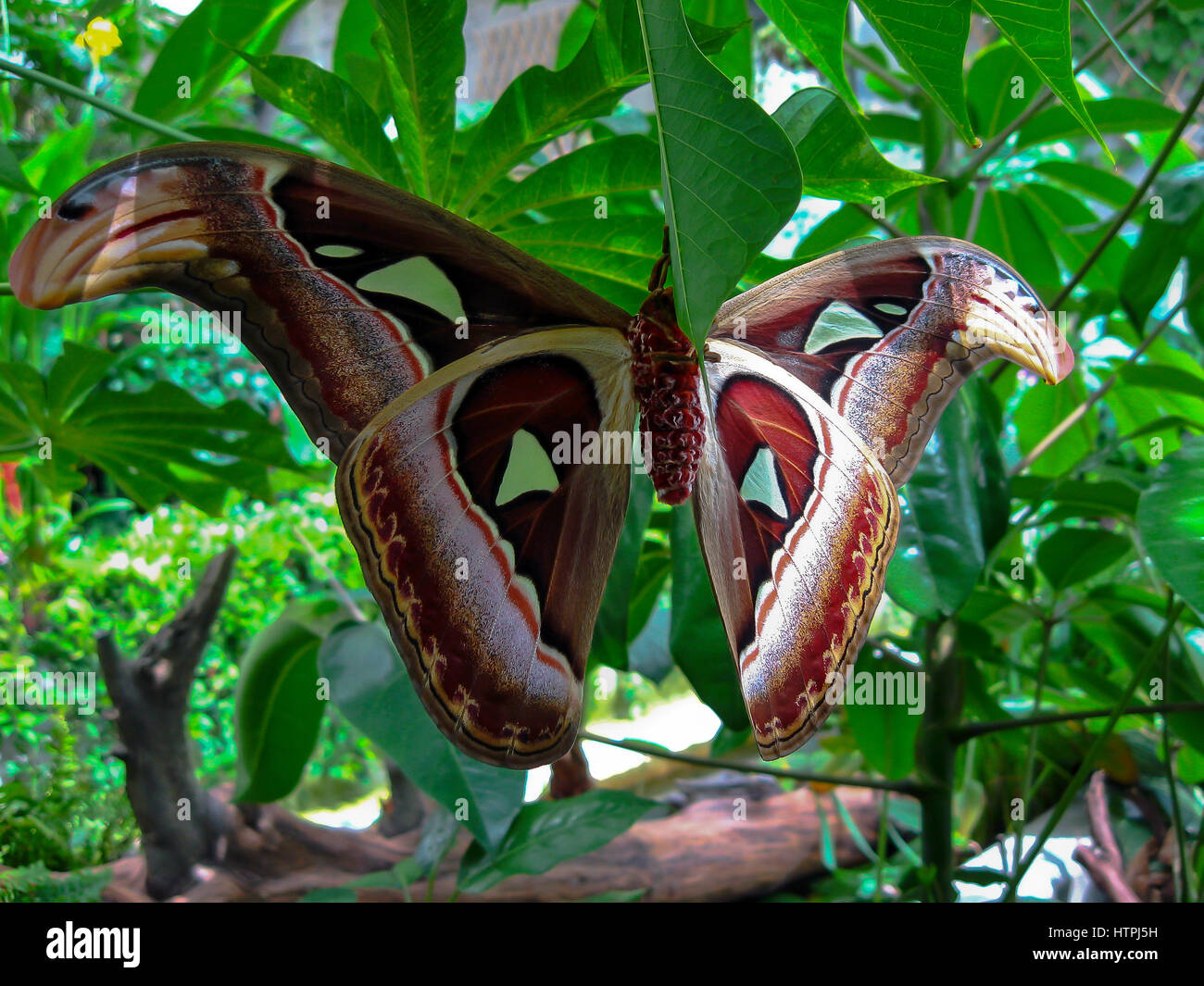 Kingdom:Animalia Phylum:Arthropoda Class:Insecta Order:Lepidoptera Family:Saturniidae Genus:Attacus Species:A. atlas - Stock Image