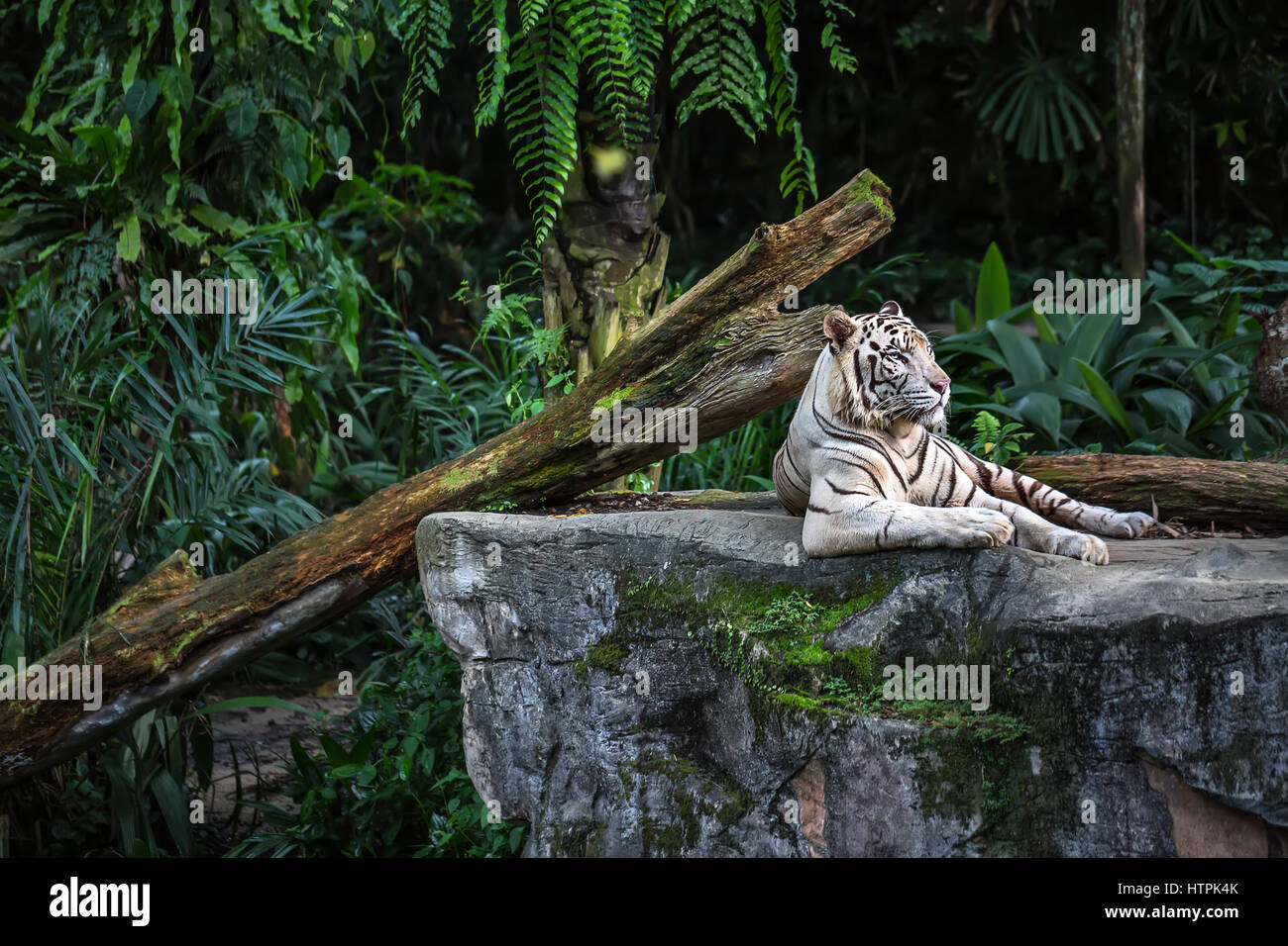 Forceful white tiger with blue eyes is resting on the rock on the plants background in the zoo in Singapore. Closeup - Stock Image