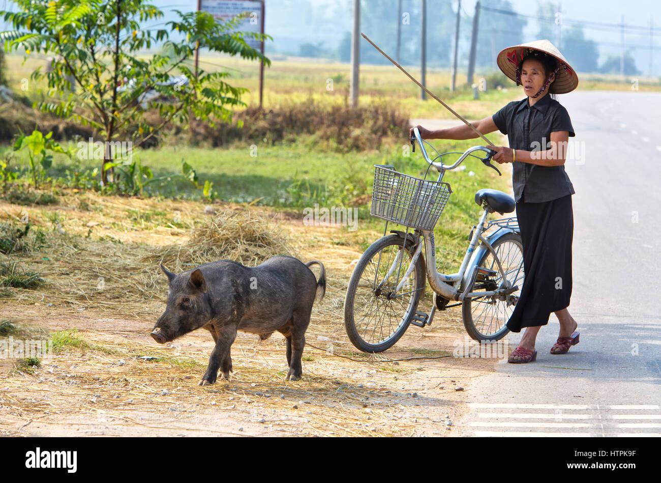 Farmer walking along roadway, guiding young pig. - Stock Image