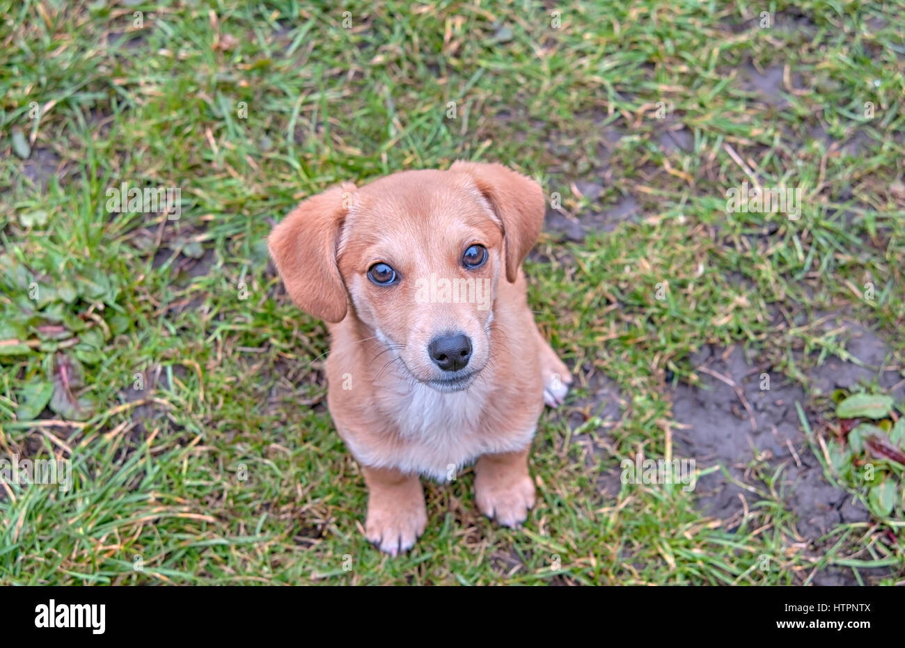 closeup portrait of a dachshund puppy in grass - Stock Image