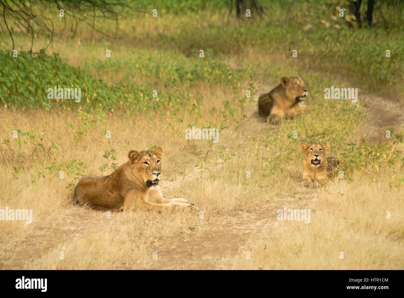 Asiatic (Indian) lions in Sasan Gir (Gir Forest), Gujarat, India - Stock Image