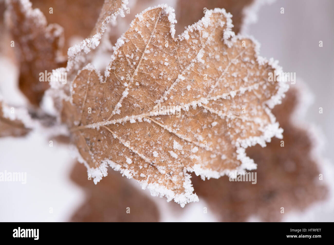 leaves with frost and ice at very cold winter day Stock Photo