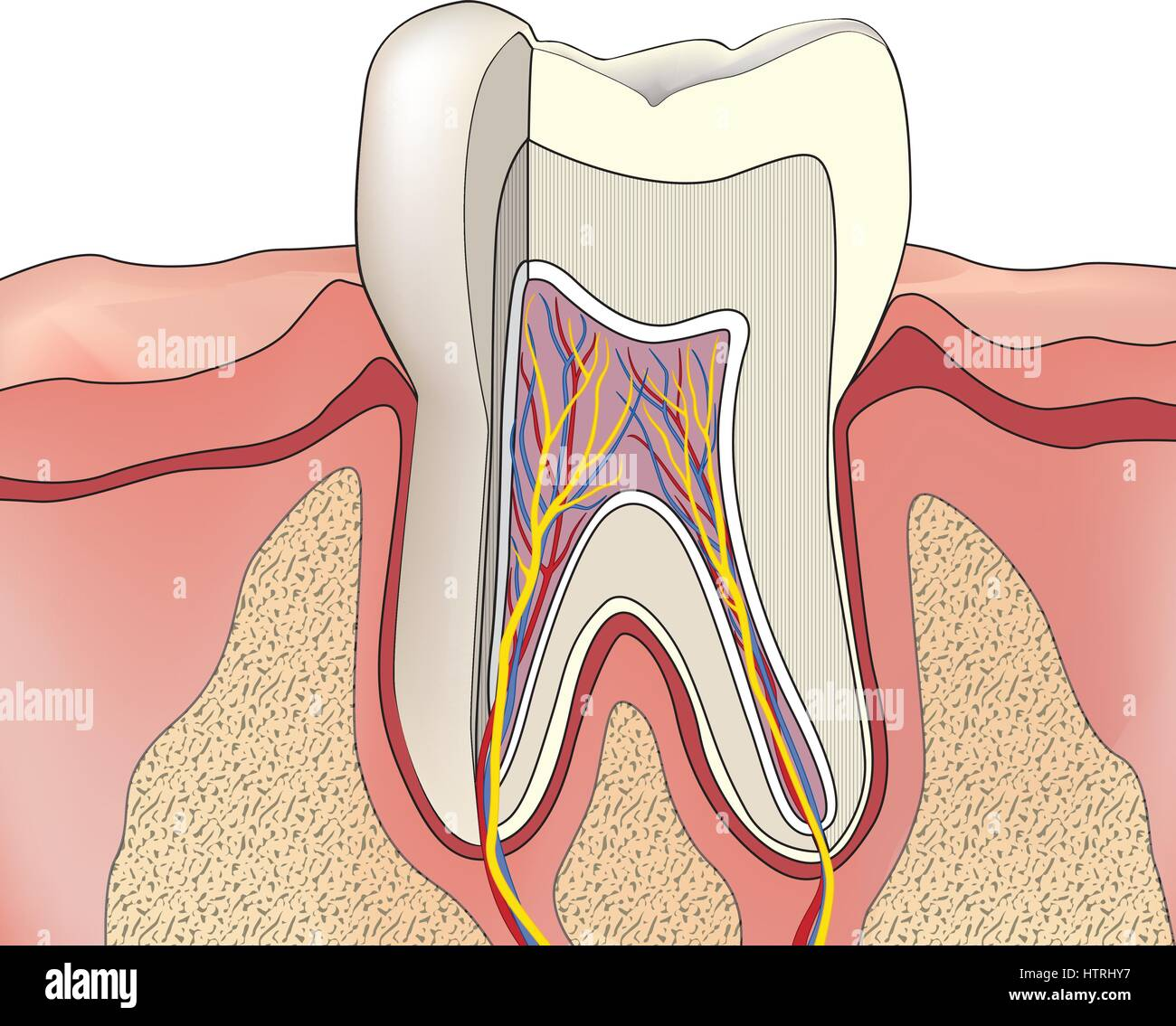 Structure Human Teeth Illustration Stock Photos Structure Human