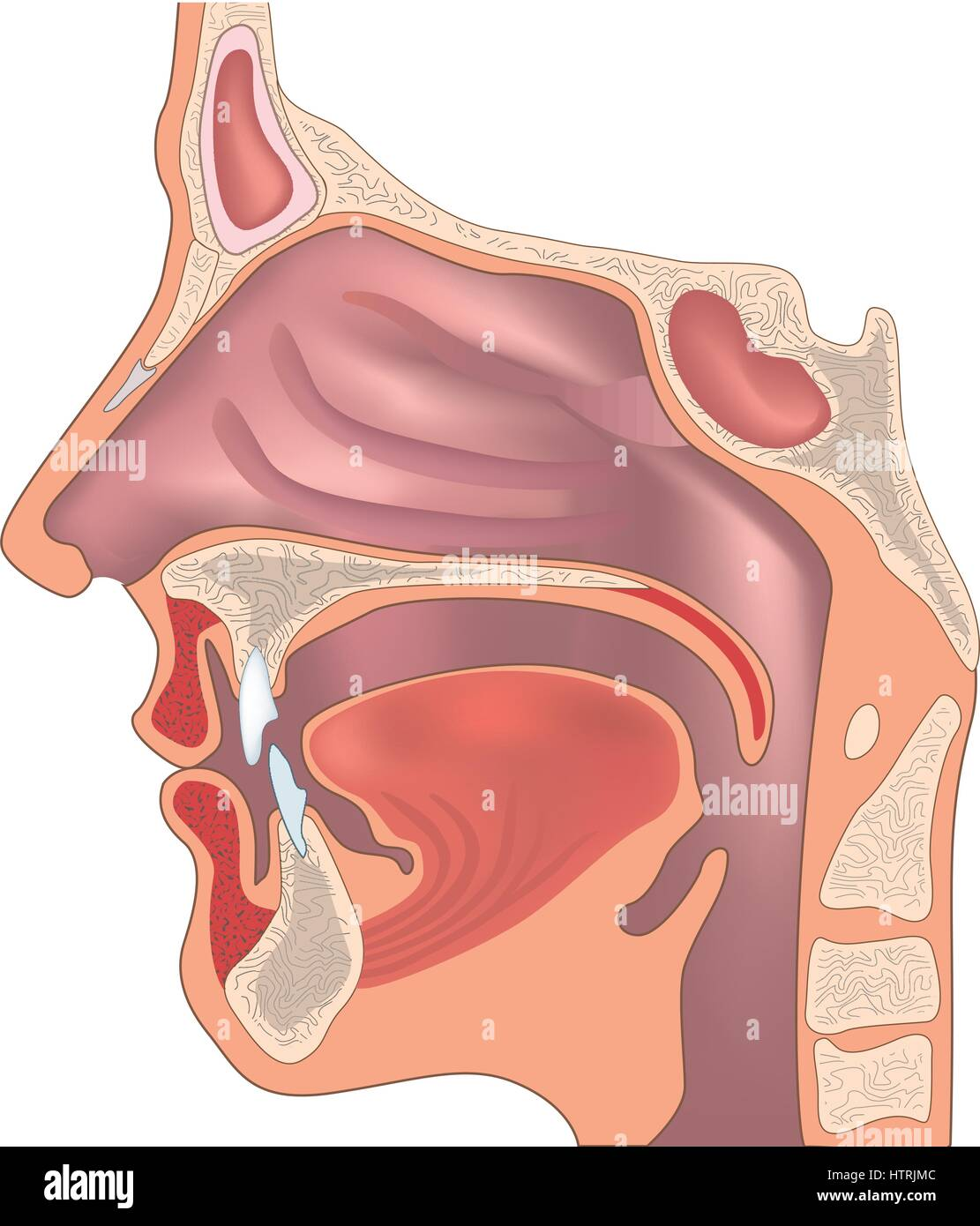 Anatomy Of Human Tongue Stock Photos Anatomy Of Human Tongue Stock