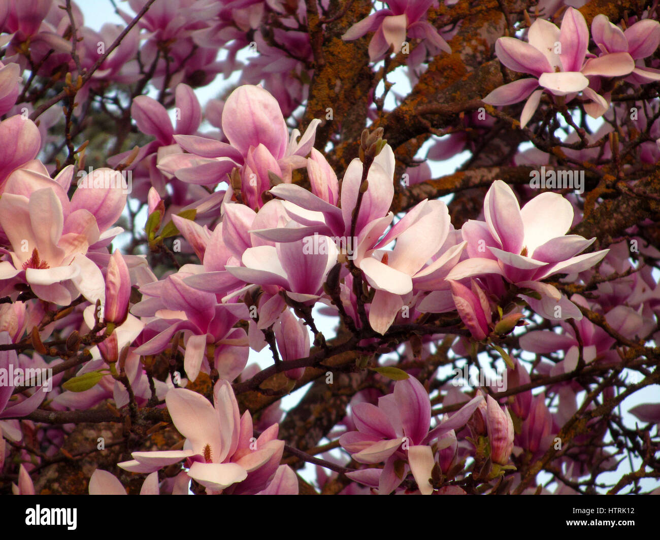 Close up of hundreds of Magnolia Blooming Stock Photo