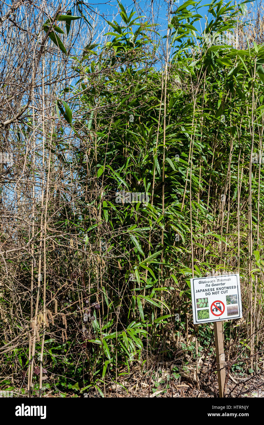 Japanese Knotweed or fallopia japonica, at the side of a road with a sign warning not to cut. - Stock Image