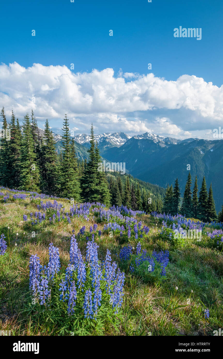 Lupine and Bailey Range Mountains, from Obstructuion Point Road, Olympic National Park, Washington, USA. - Stock Image