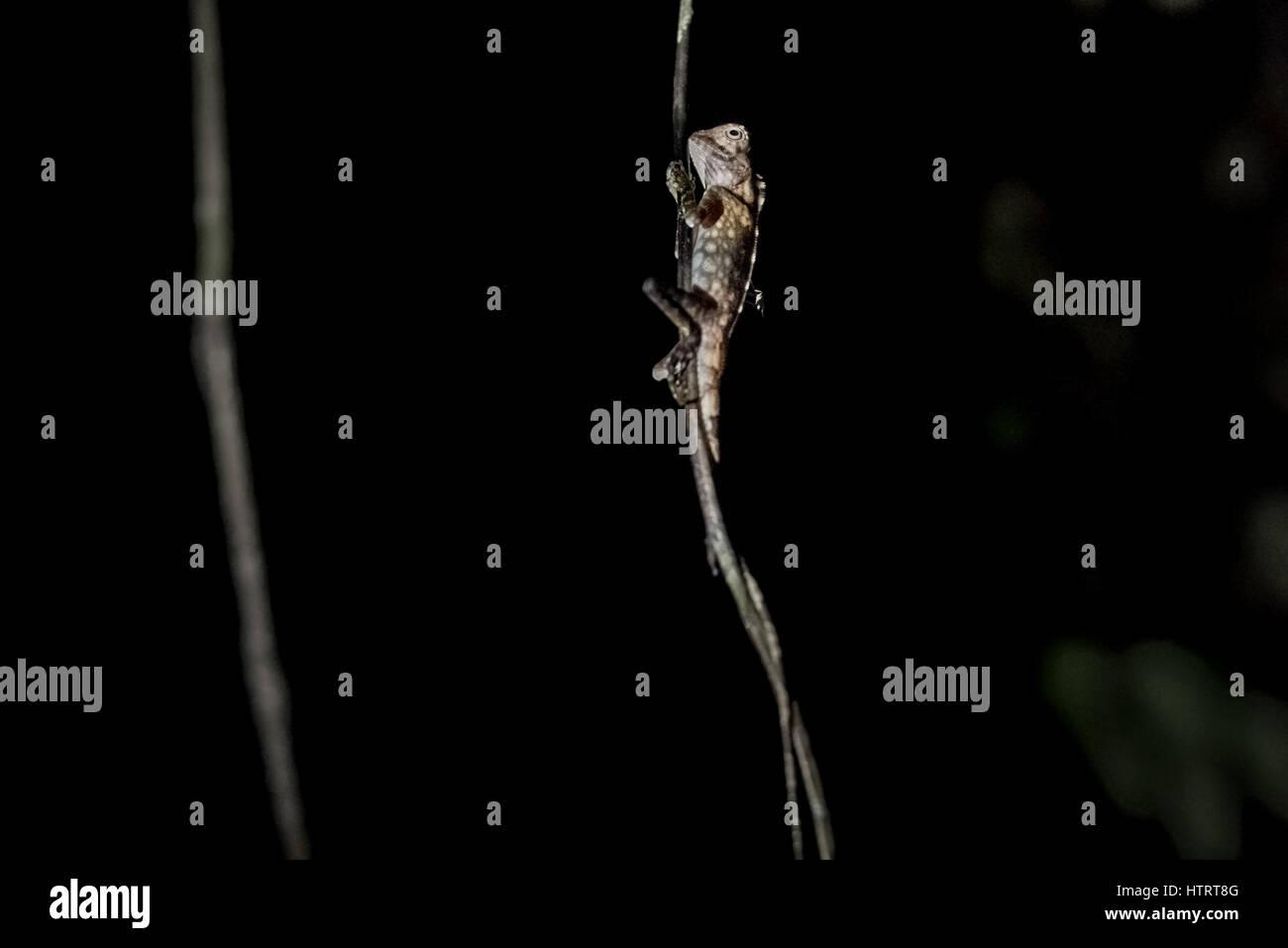 Wild Borneo anglehead lizard (Gonocephalus bornensis) climbing aerial roots. © Reynold Sumayku - Stock Image