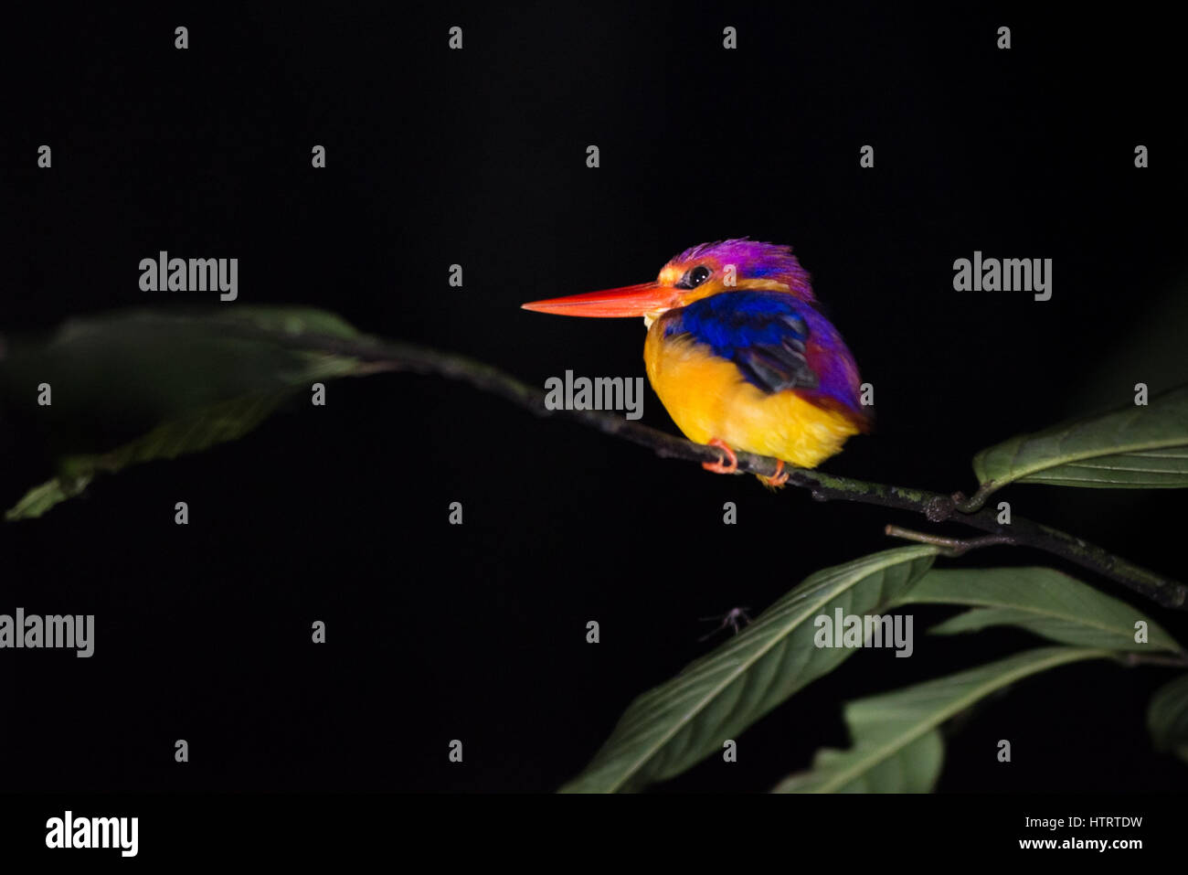 Oriental dwarf kingfisher (Ceyx erithaca) resting during nighttime in tropical lowland forest of Borneo. © Reynold Stock Photo