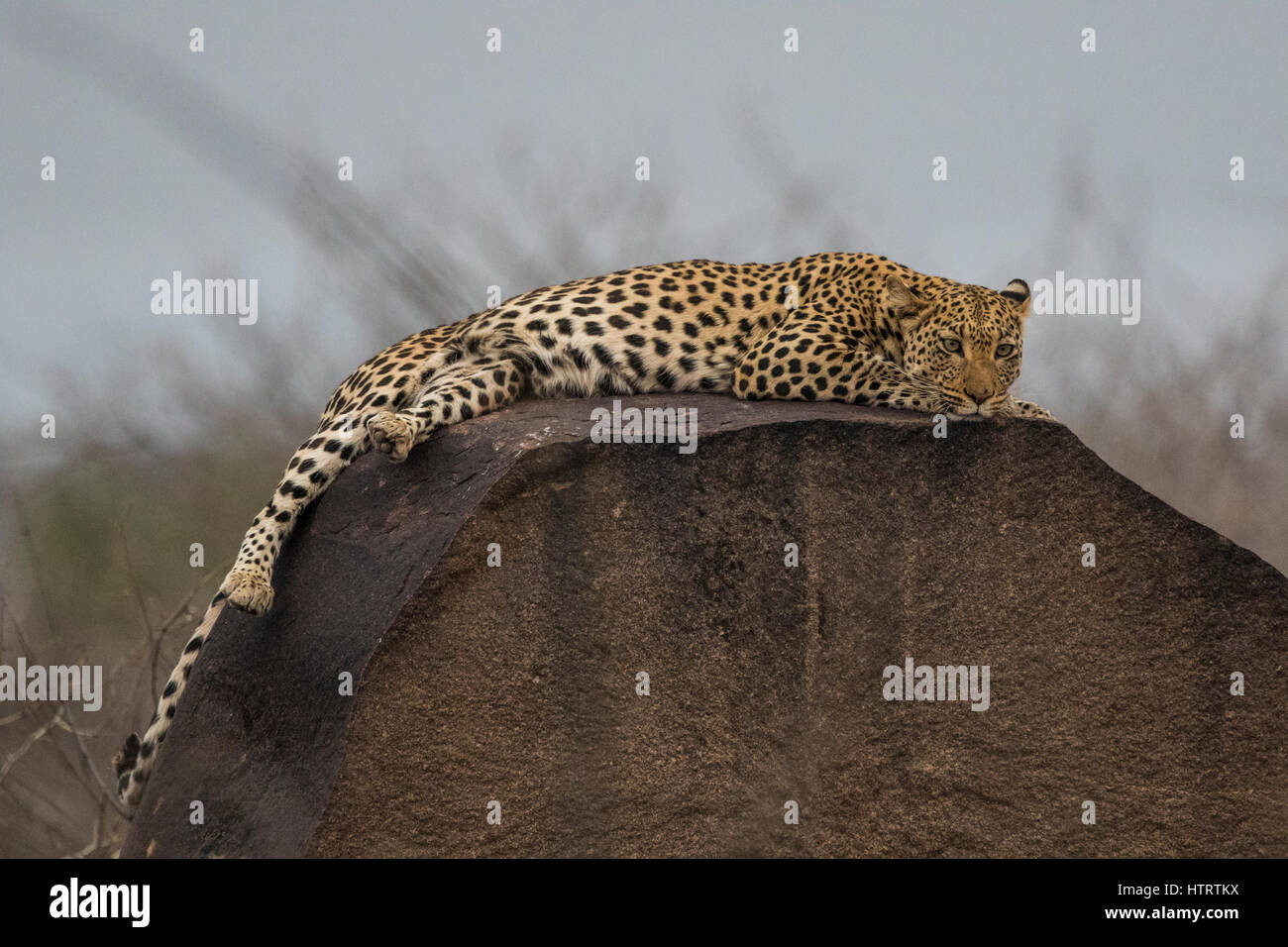 A wild leopard lying on a rock in the evening. - Stock Image