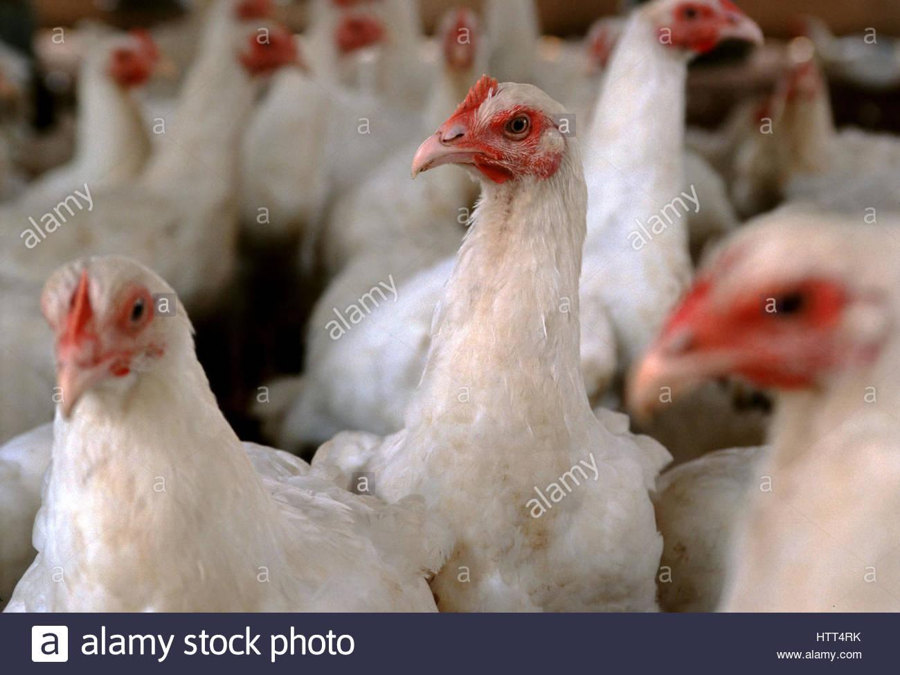 BENIN, Porto Novo, Songhai bio farm, Chickens. - Stock Image