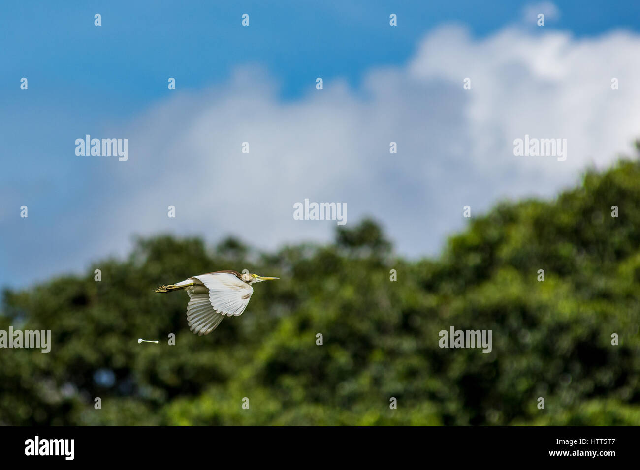 A large heron bird pooing mid flight with a background of trees and blue sky with shallow depth of field. - Stock Image
