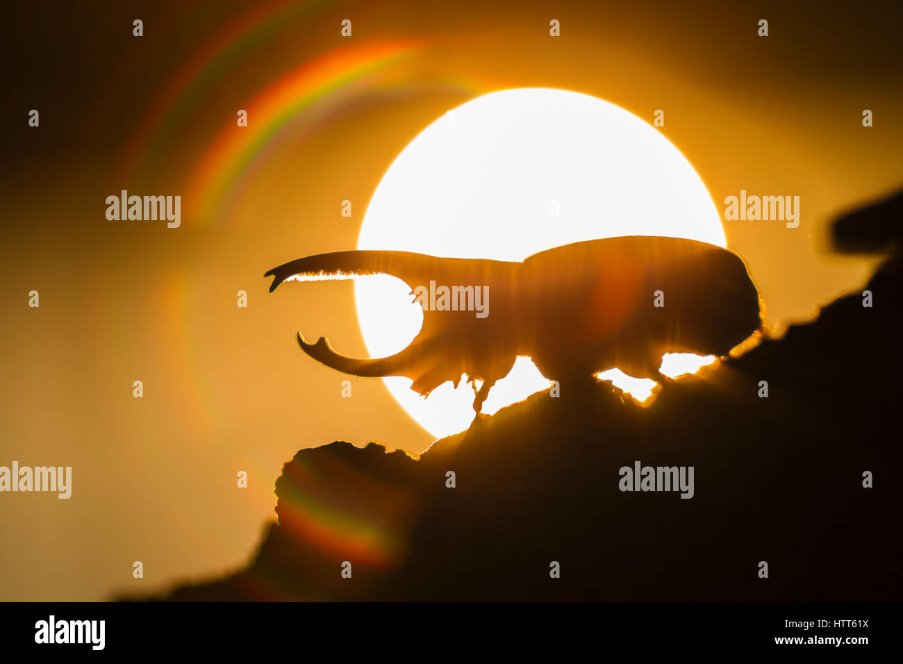 Western Hercules Beetle male walking on log, silhouetted by rising sun and rainbow colors.  This rhinoceros beetle - Stock Image