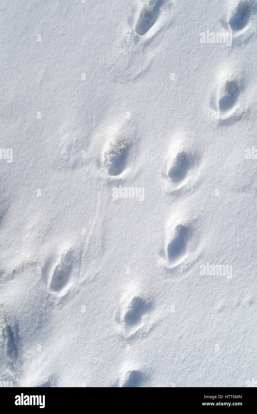 animal tracks in the fresh pure snow - Stock Image