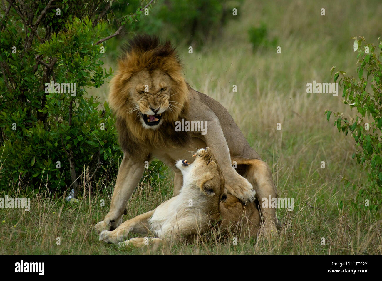 Male and female African lion (Panthera leo) mating, Masai Mara National Reserve, Kenya, East Africa - Stock Image