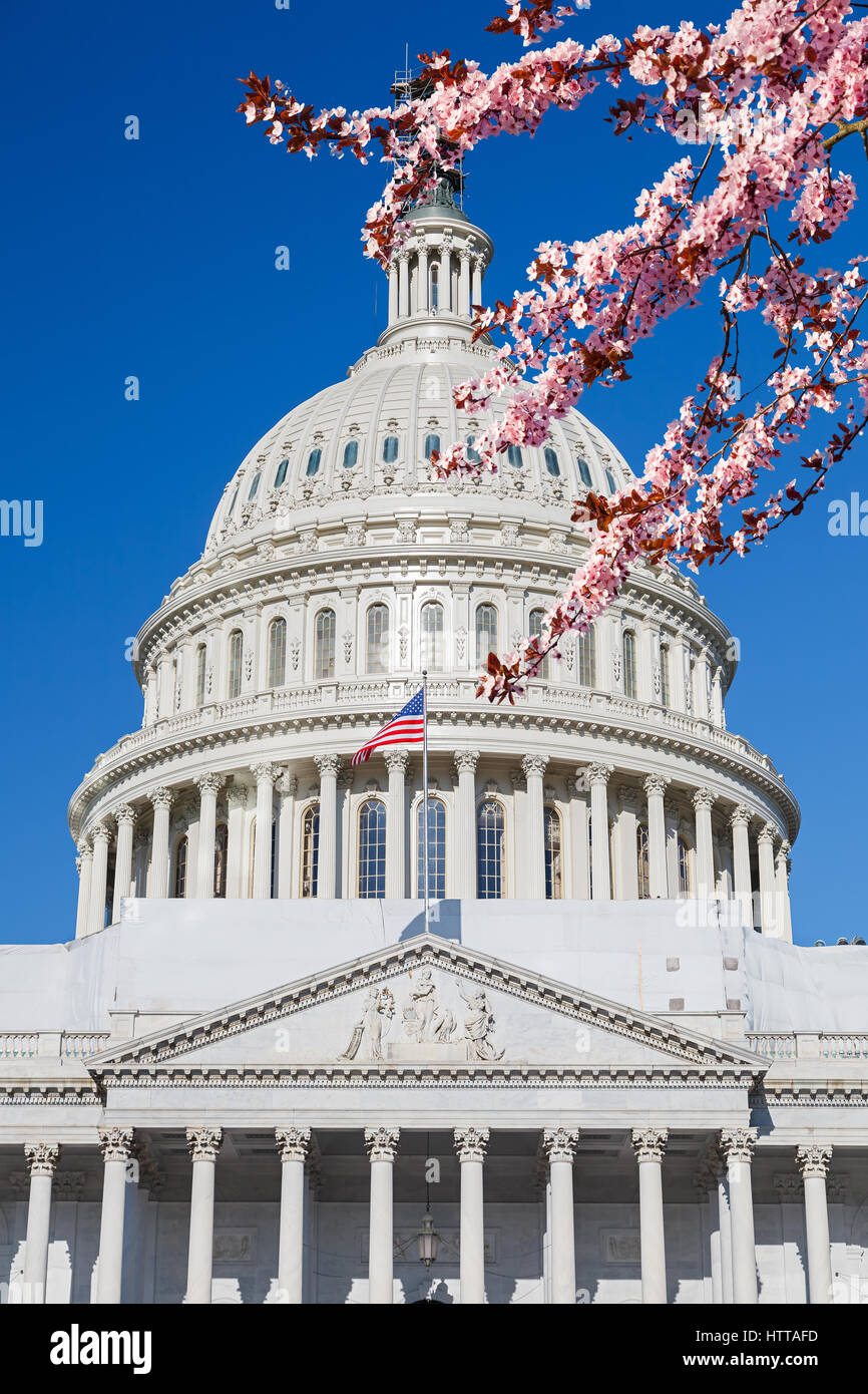 US Capitol over blue sky with blooming cherry on foreground - Stock Image