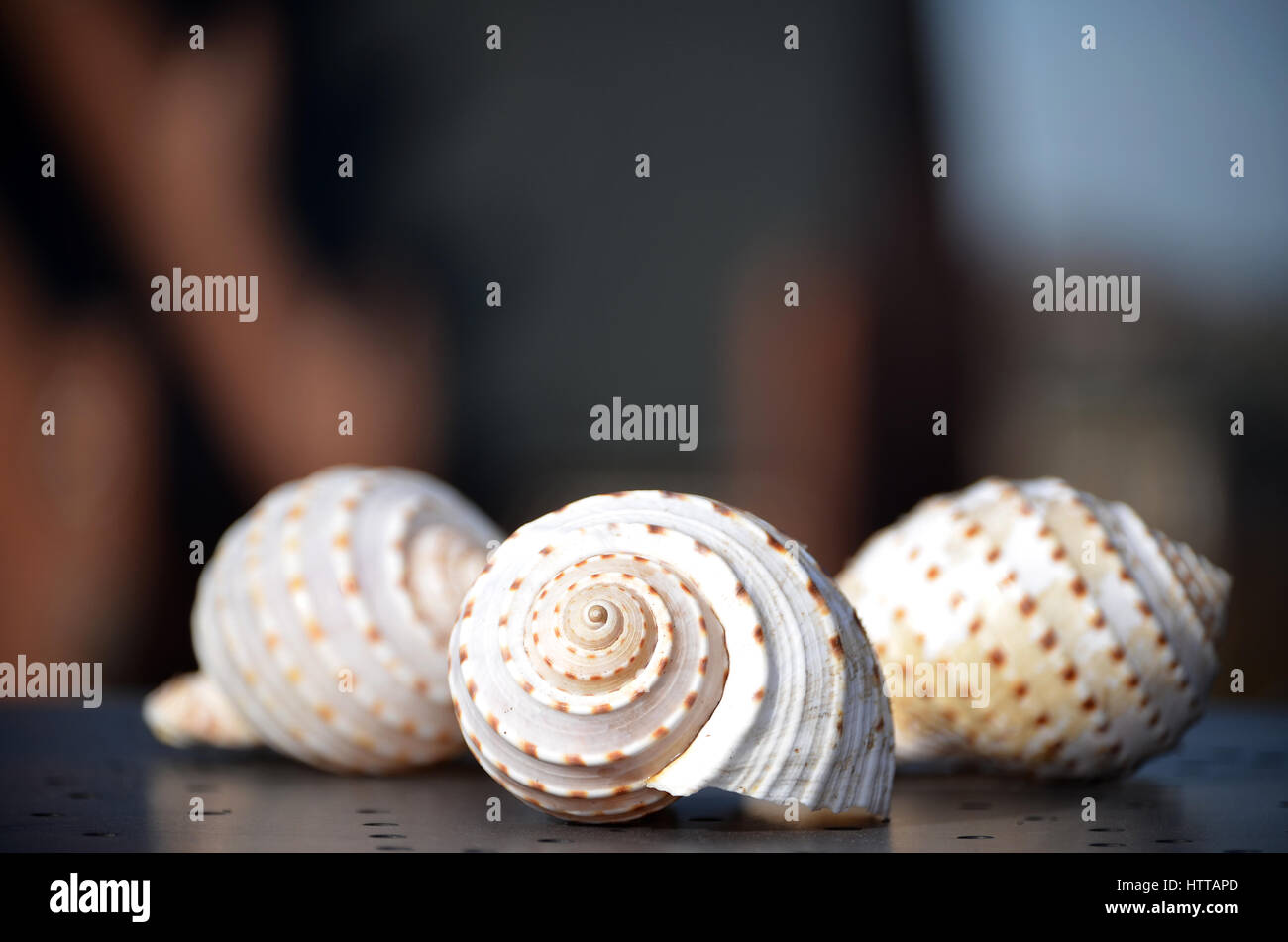 Two shells of Giant Tun snails (Tonna galea) - Stock Image
