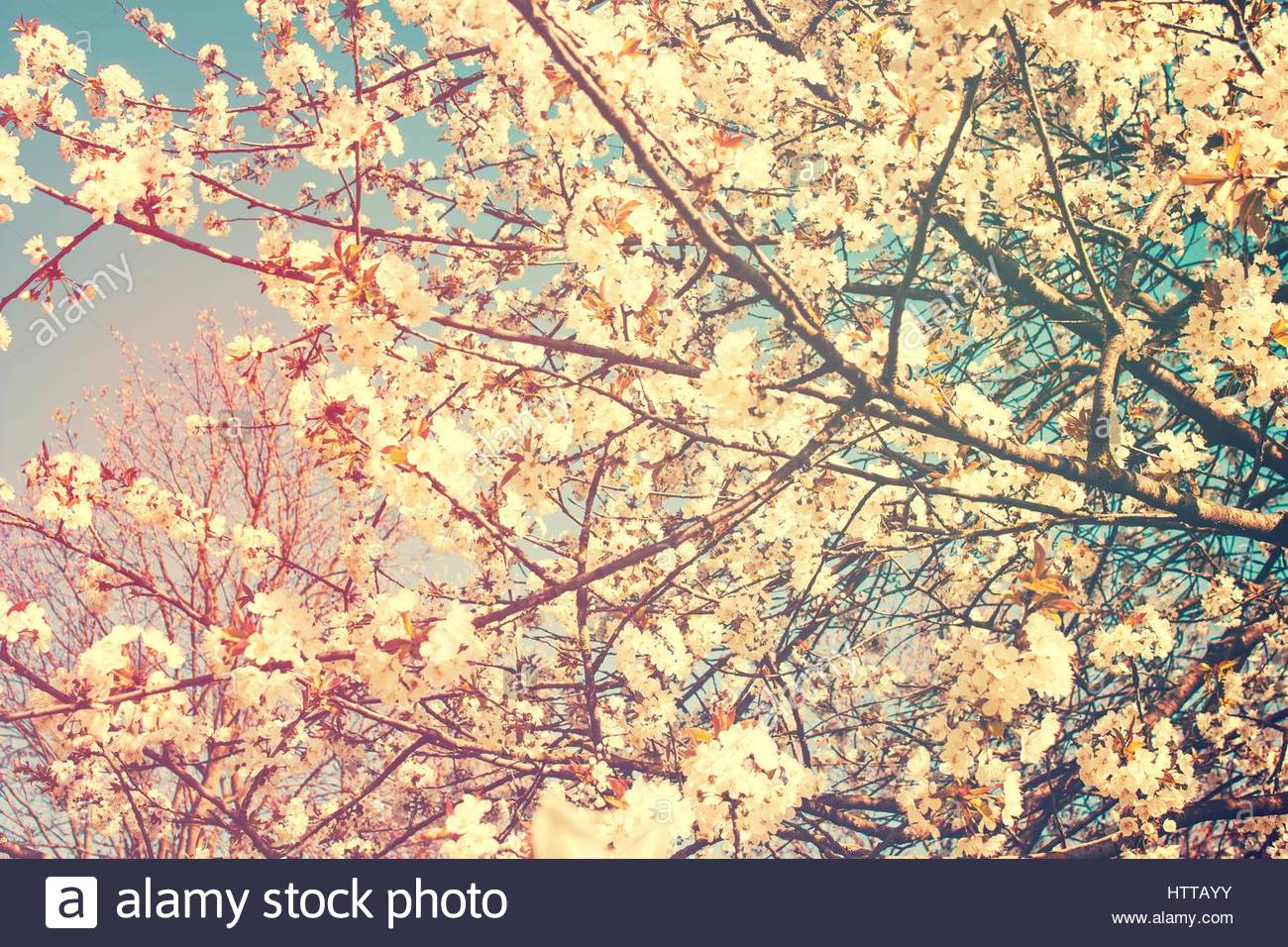 Cherry Blossoms Flowering Trees In Spring Light Background And