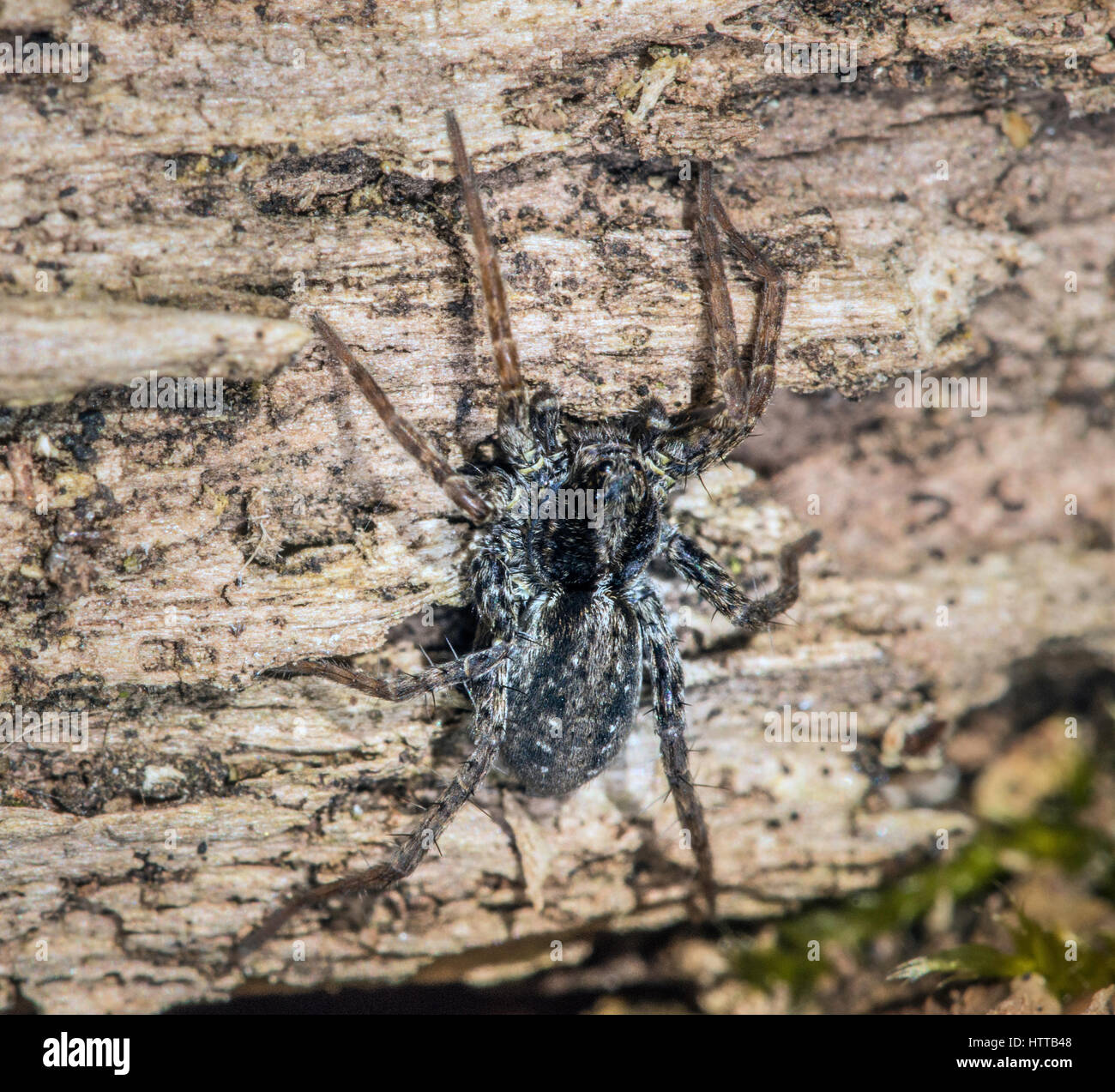Pardosa spider resting on decaying wood, United Kingdom. - Stock Image
