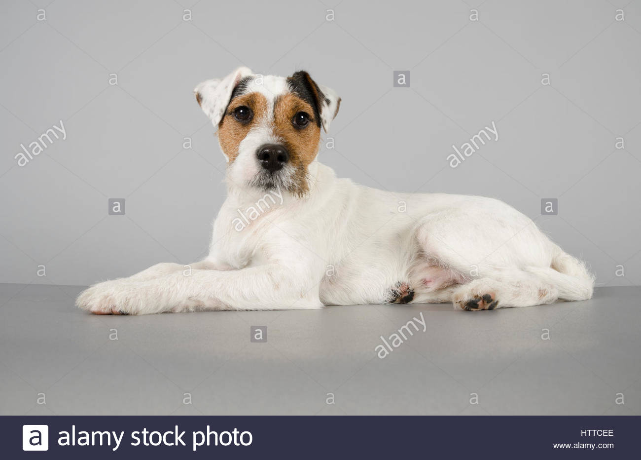 Parson Russell Terrier - Male - 8 months old - Stock Image