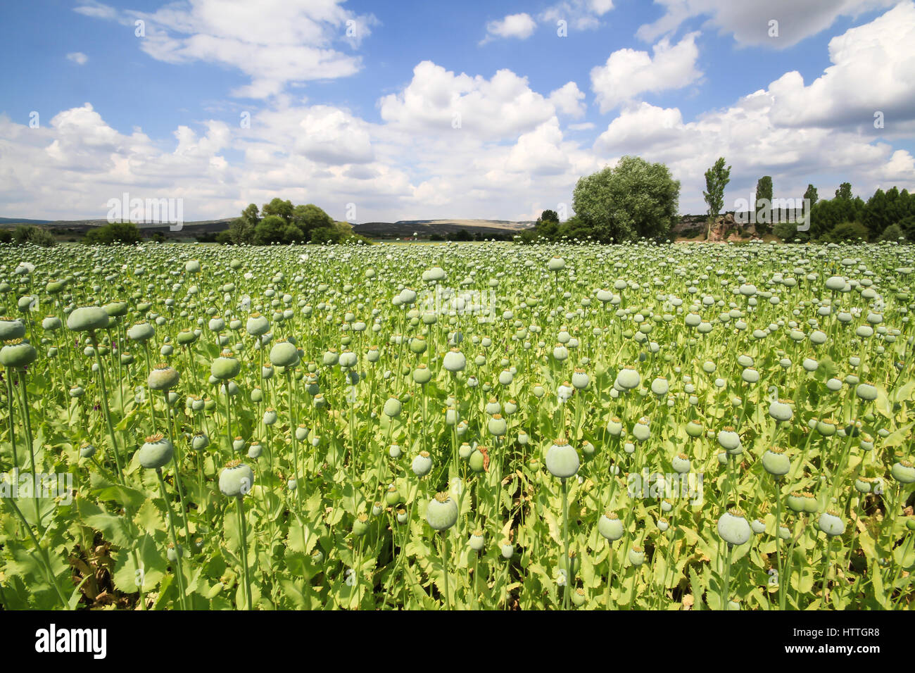 harvest of opium from green poppy on the agriculture field Stock Photo