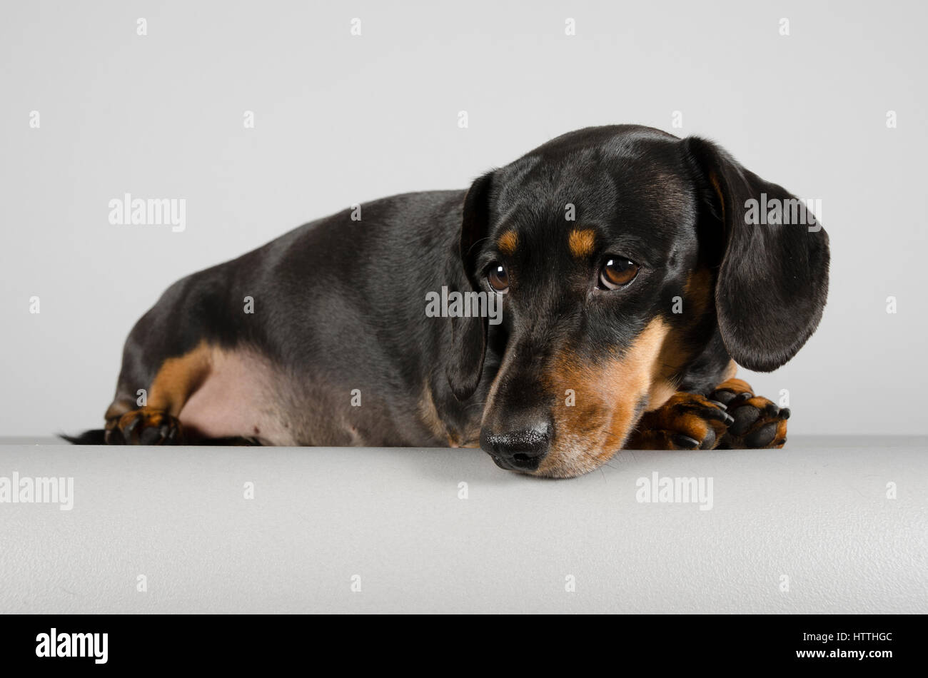 Pet photographed in front of a grey background - Stock Image