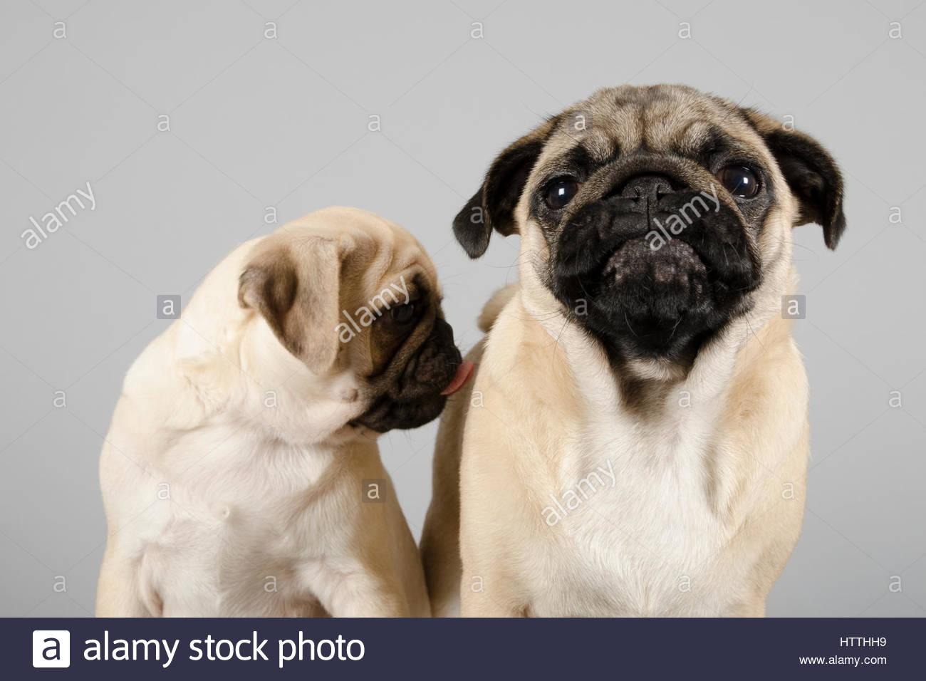 Pug Pals - Stock Image
