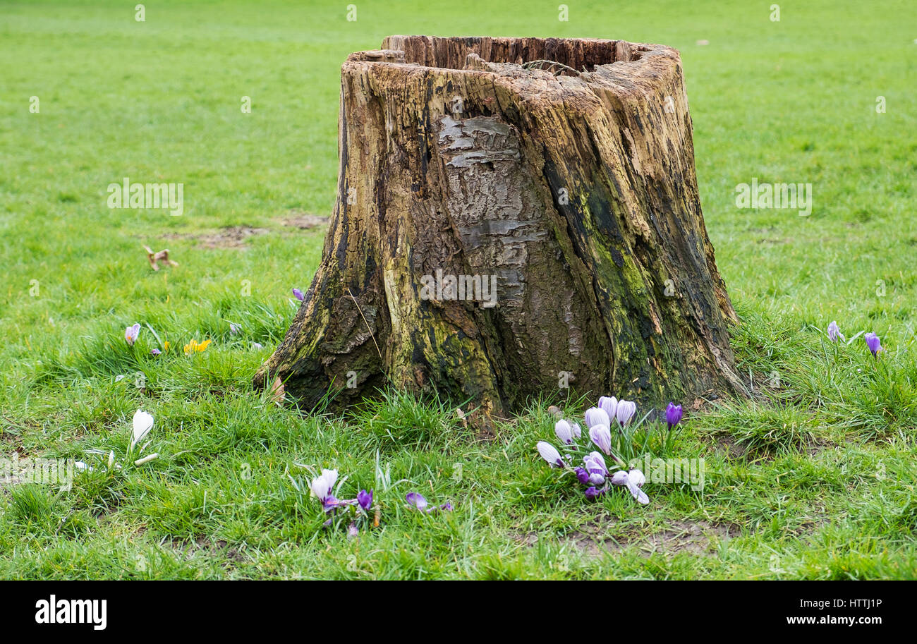 cut down tree stump in a parkland setting - Stock Image