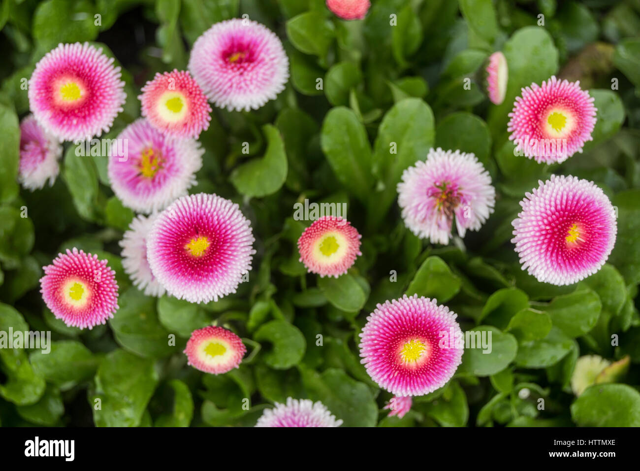 Bright pink flower with yellow centre stock photos bright pink pink white and yellow spring flowers stock image mightylinksfo