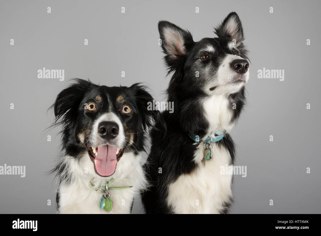 Border Collie Dogs 7 years and 2 years old - Stock Image