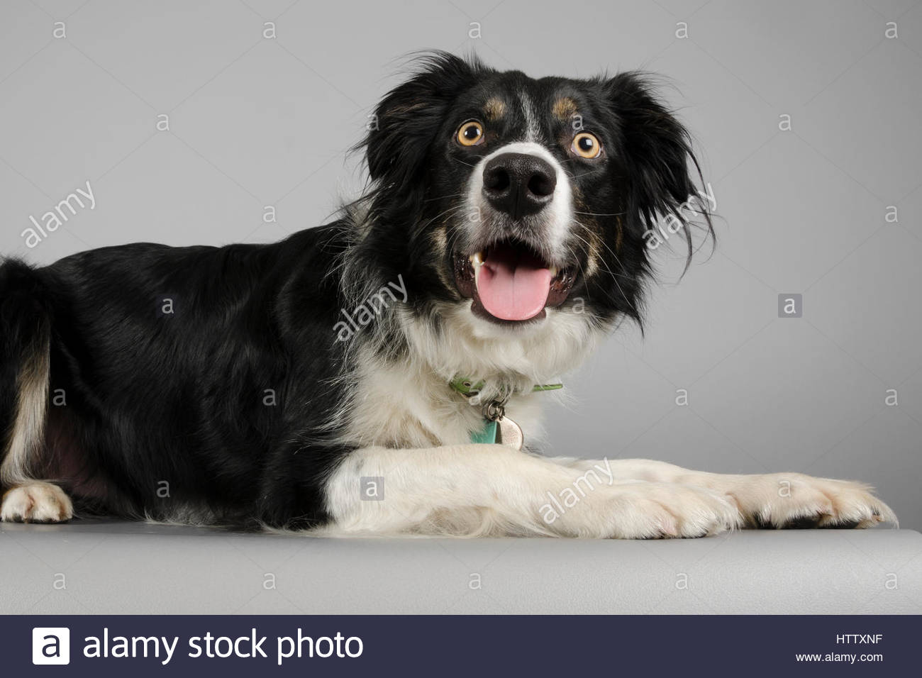 Border Collie Dog - 2 years - Stock Image