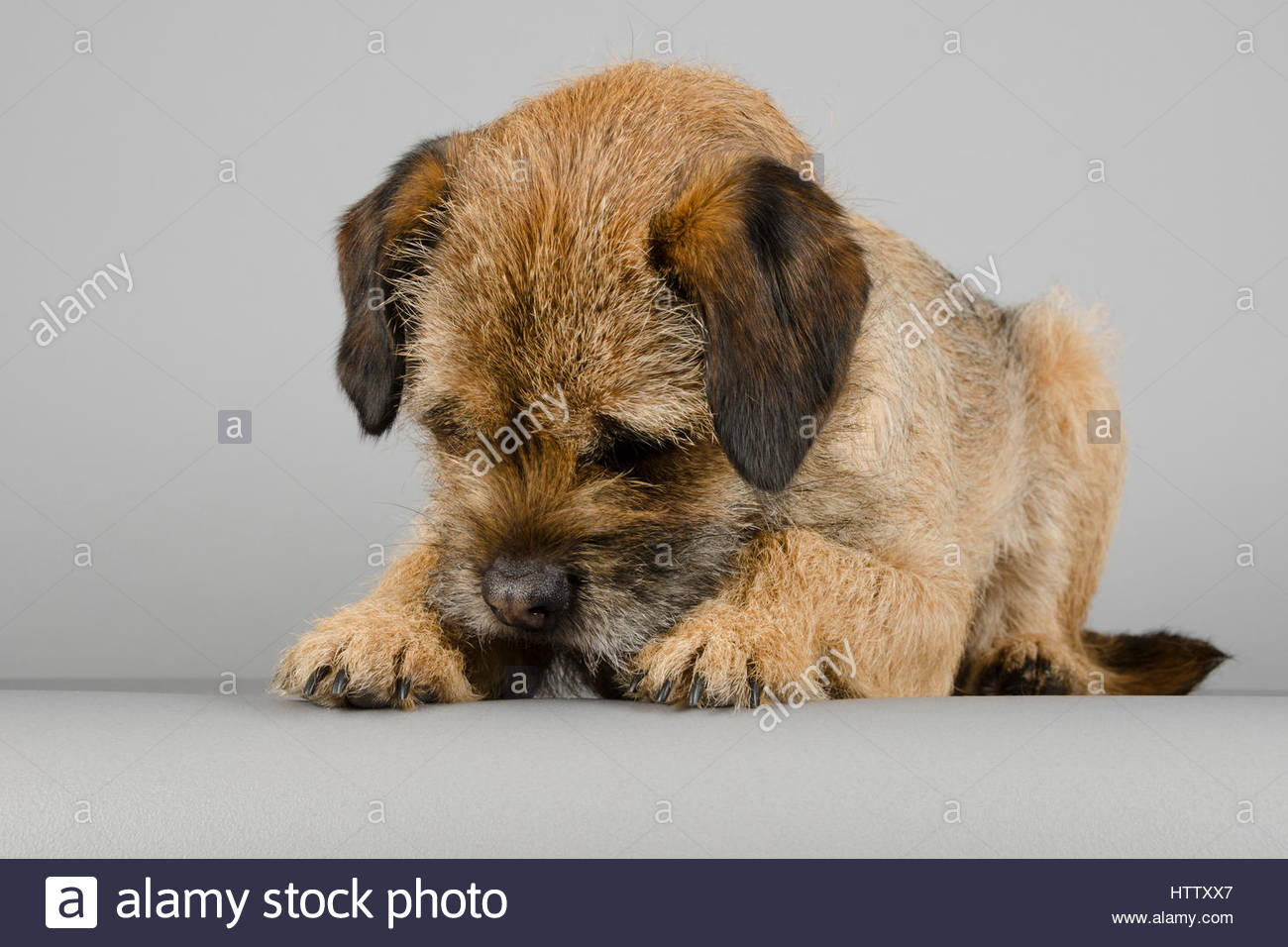 Border Terrier - Male - 3 years - Stock Image