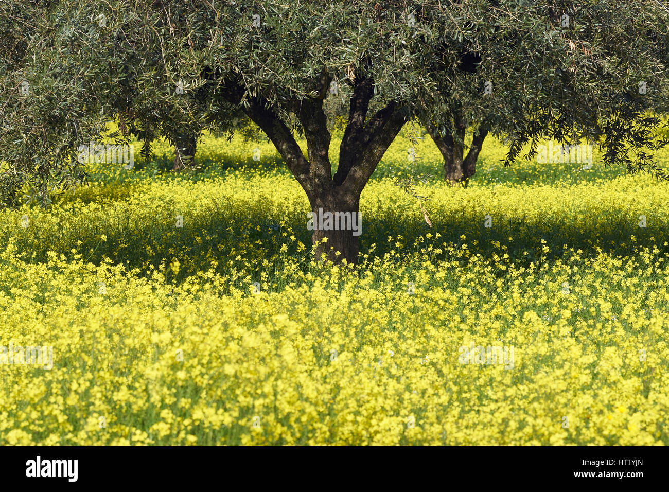 Olive Trees Yellow Flowers Stock Photos Olive Trees Yellow Flowers