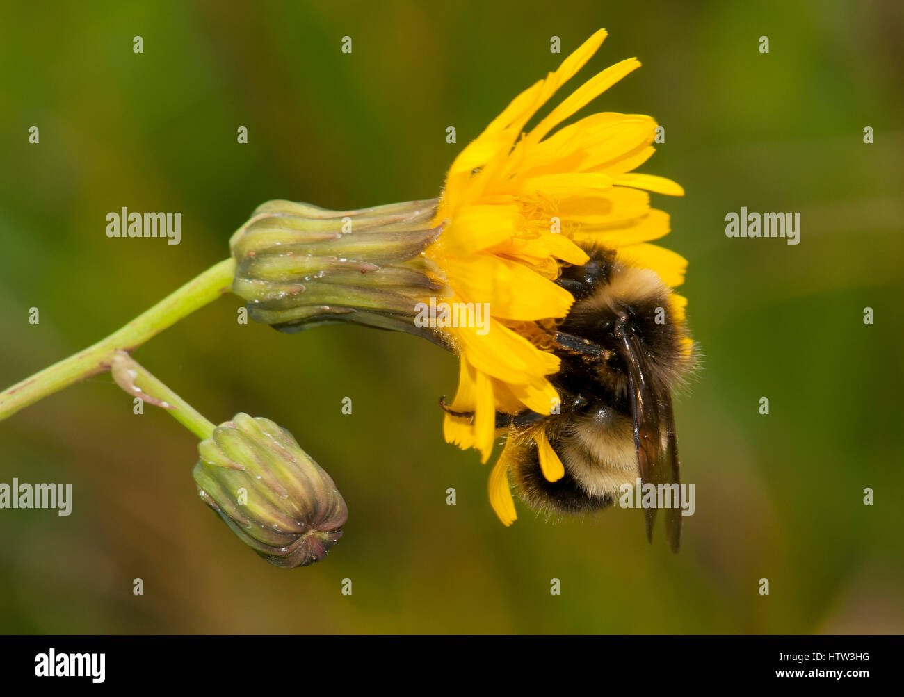 Bumble bee pollinating flower - Stock Image