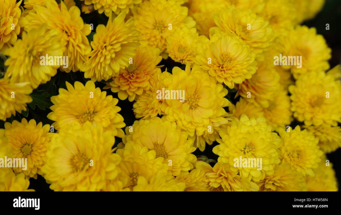 Small Yellow Chrysanthemum Flowers Blooming In Autumn Japan Stock