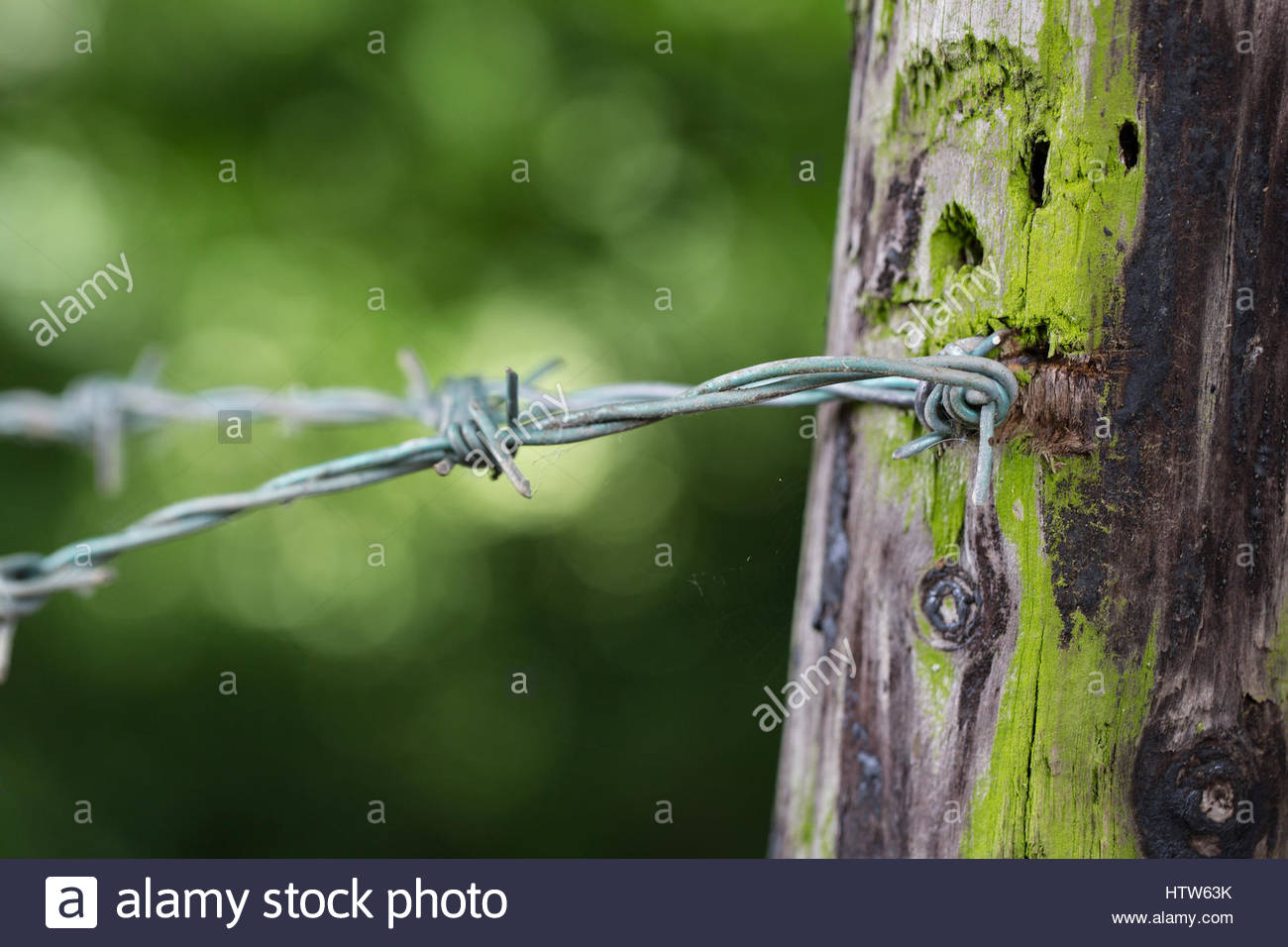 Barbed wire attached to a lichen covered fence post with a green background. - Stock Image