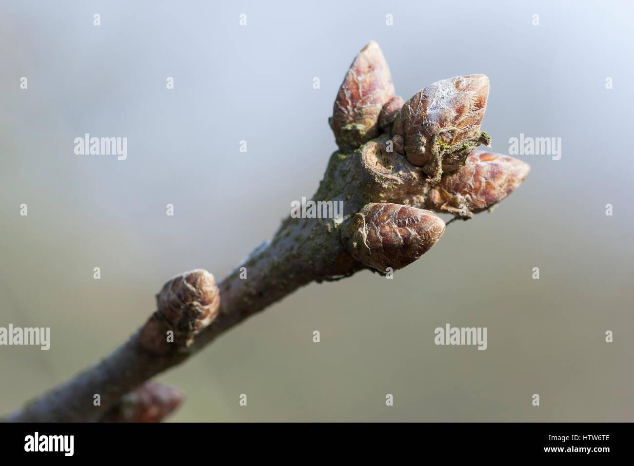 Stiel-Eiche, Stieleiche, Eiche, Knospe, Knospen, Eichenknospe, Quercus robur, Oak, English Oak, bud, buds, Chêne - Stock Image