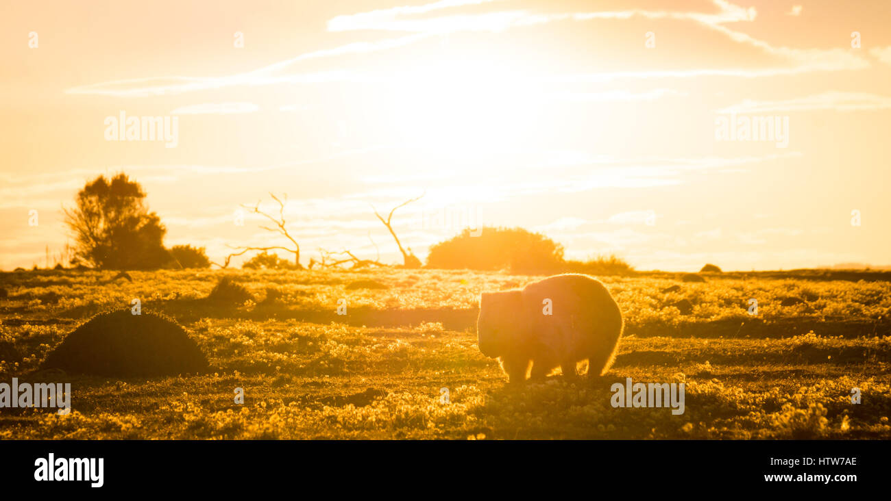 Australian Wombat at sunset - Stock Image
