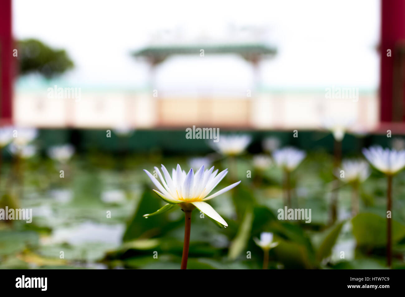 White lilys at a temple. - Stock Image