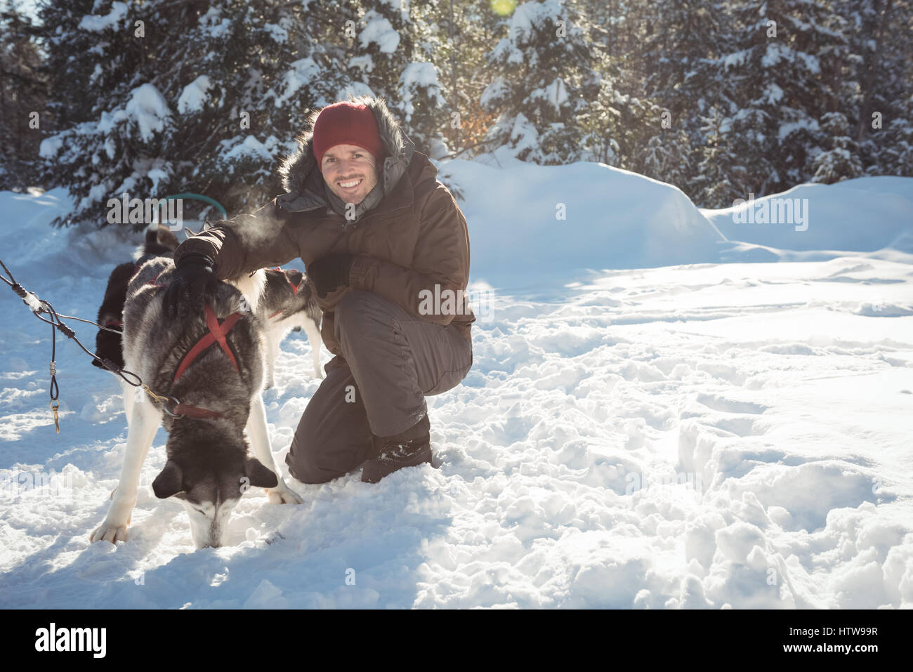 Smiling musher tying husky dogs to the sledge - Stock Image