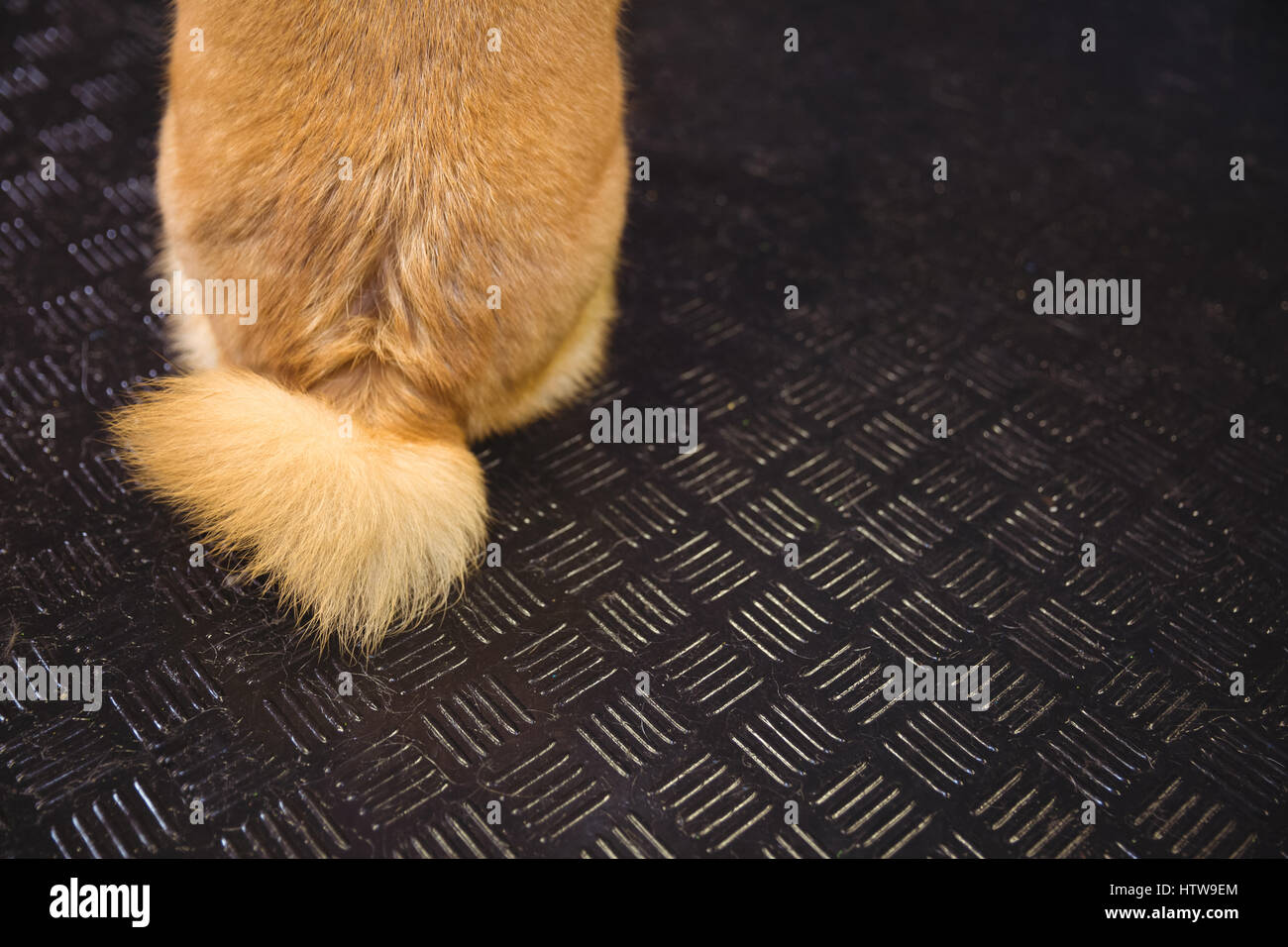 Tail of shiba inu puppy - Stock Image