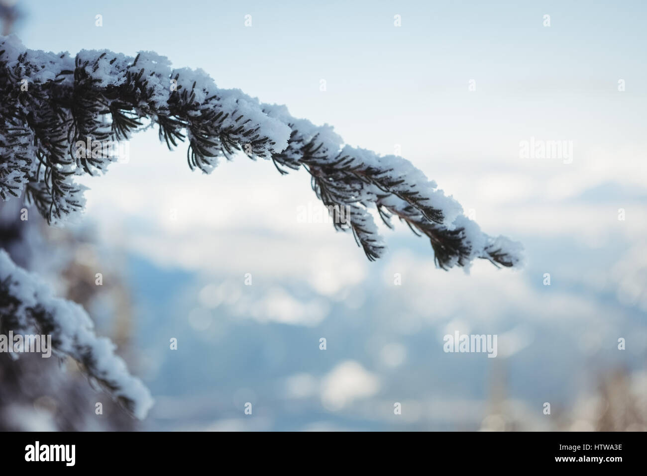 Close up of snow covered pine tree branch - Stock Image