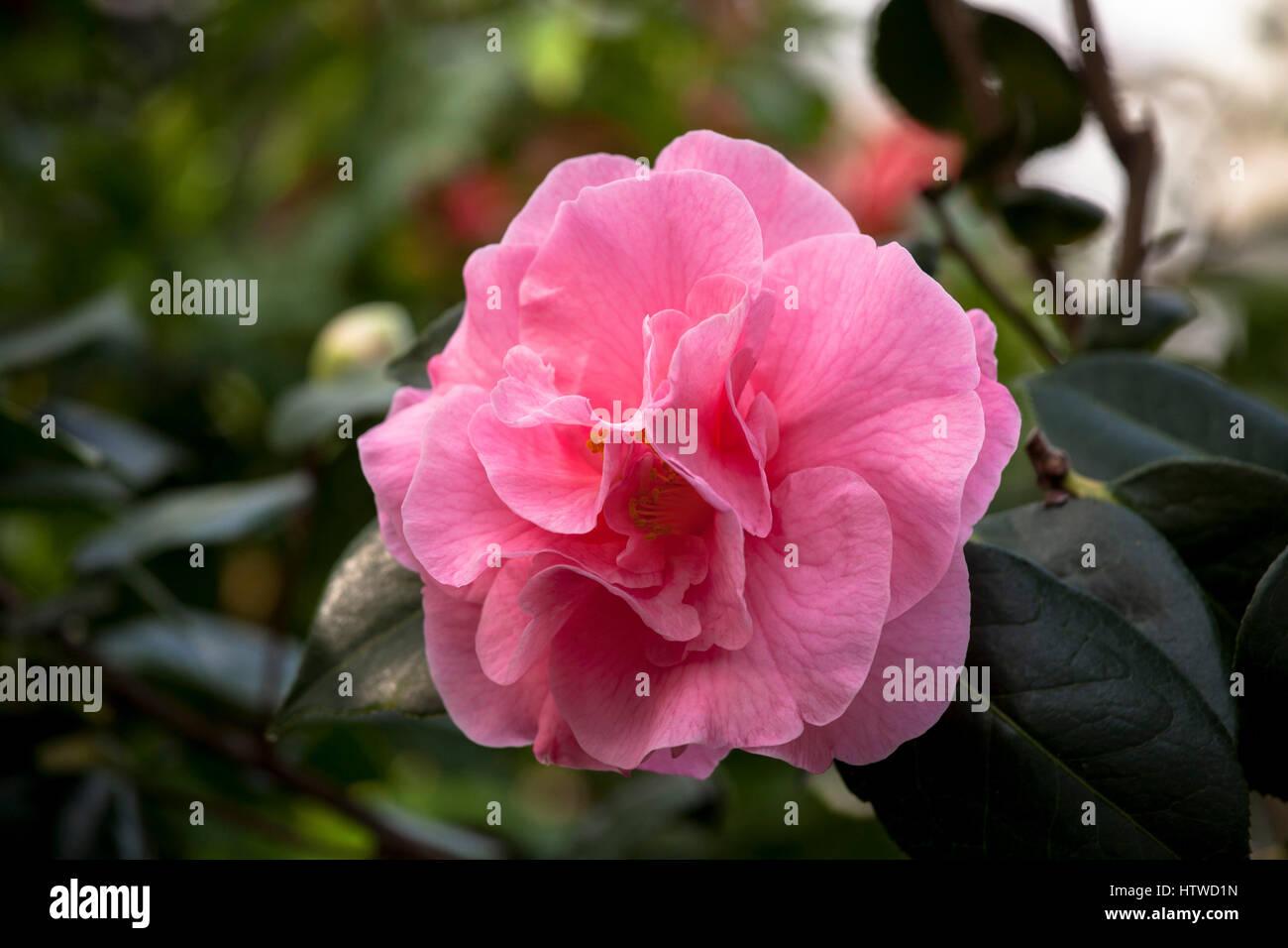 Europe, Germany, camellia, (Camellia). - Stock Image
