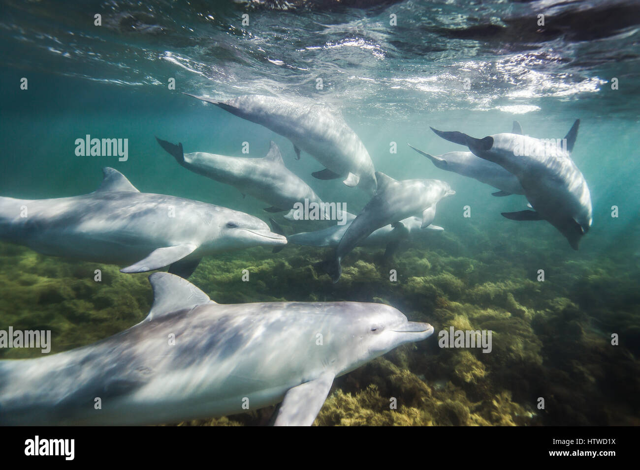 Bottlenose Dolphin (Tursiops Truncates) Stock Photo