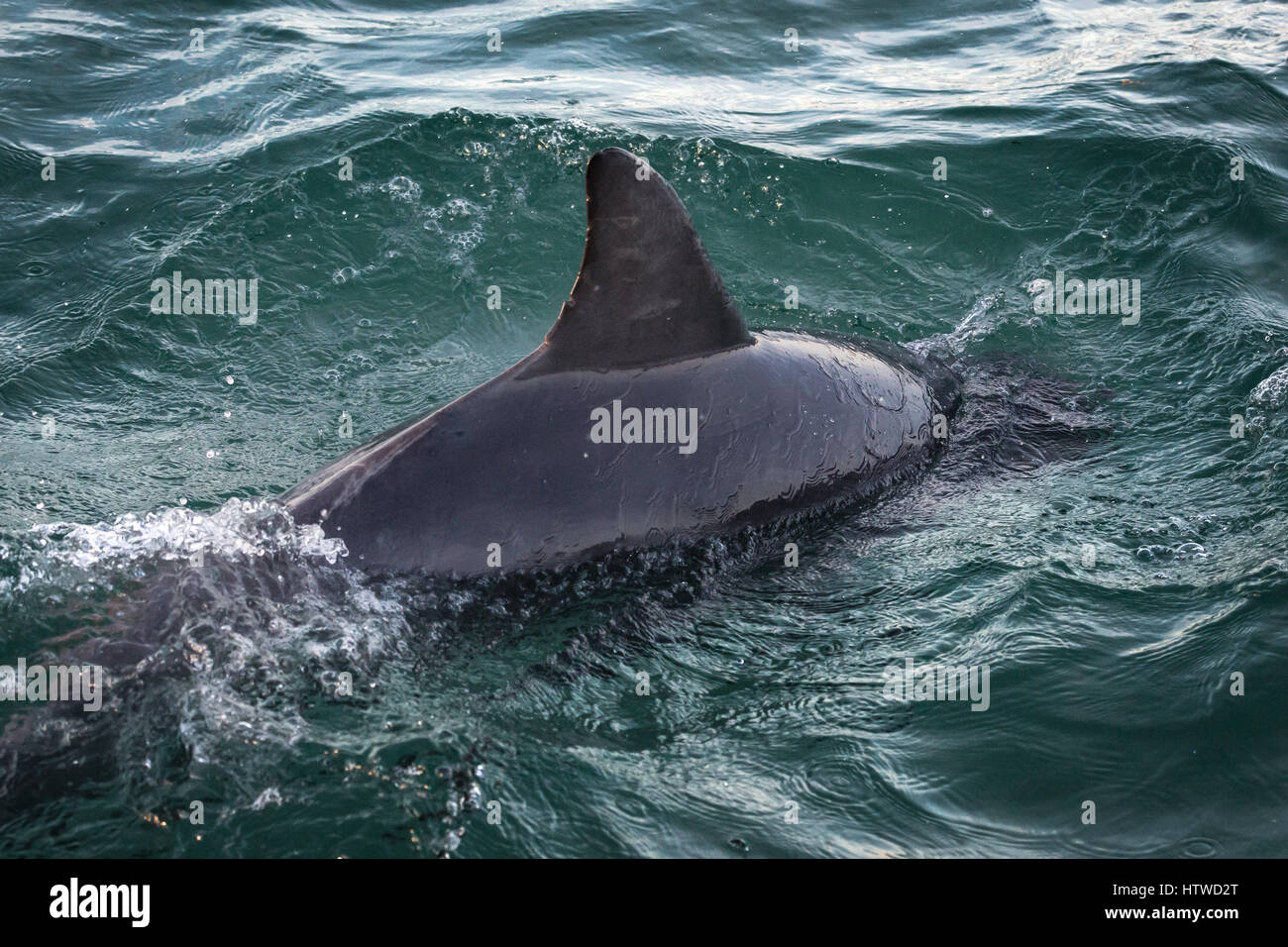 Bottlenose Dolphin (Tursiops Truncates) Stock Photo