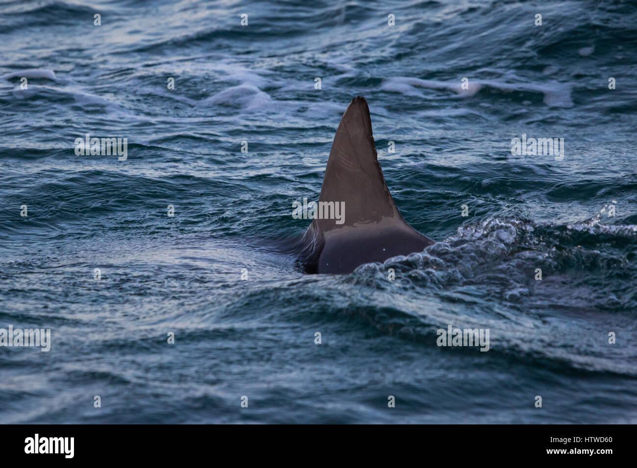 Bottlenose Dolphin (Tursiops Truncates) - Stock Image