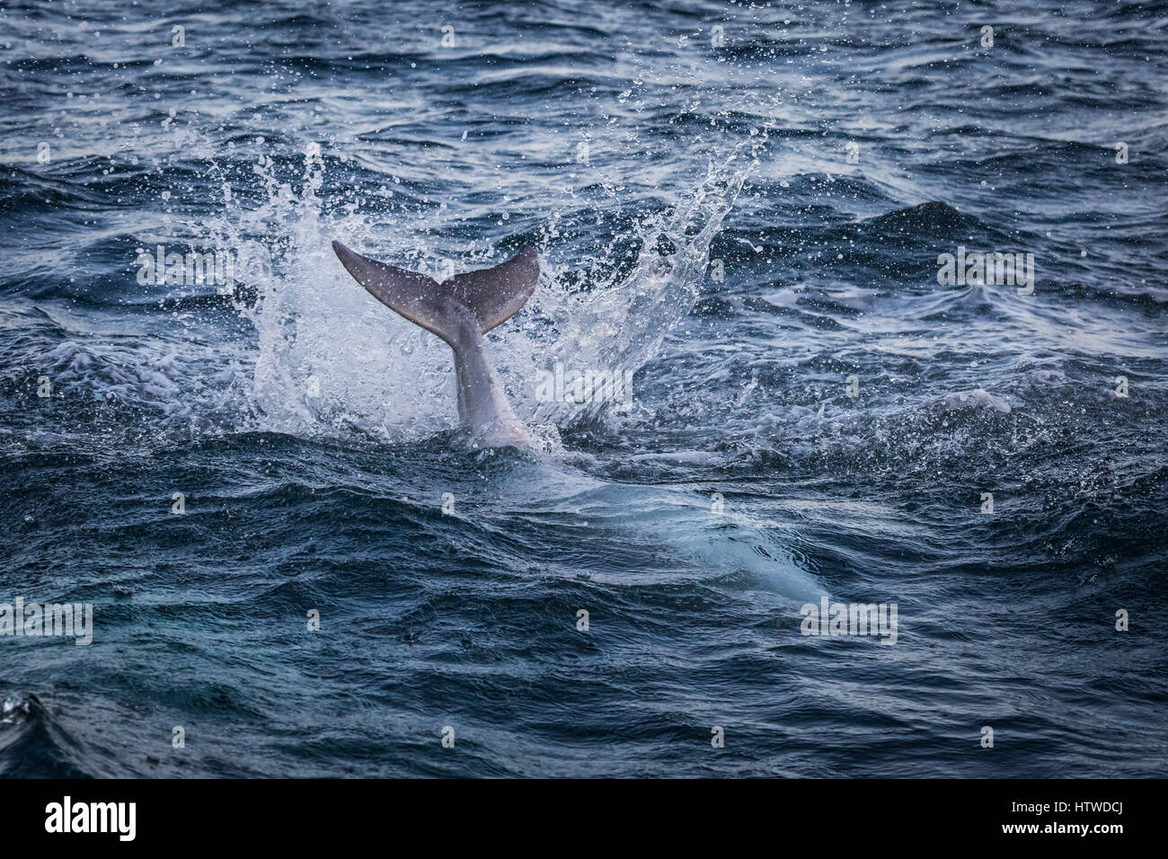 Bottlenose Dolphin (Tursiops Truncates) - Stock Image