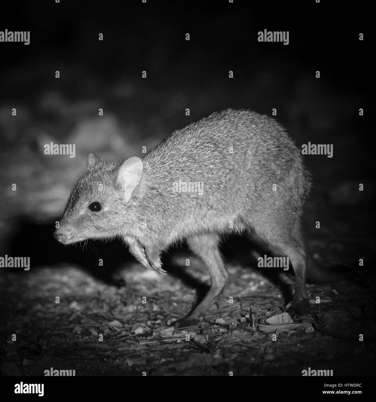 Brush-tailed Bettong (Bettongia penicillata) - Stock Image