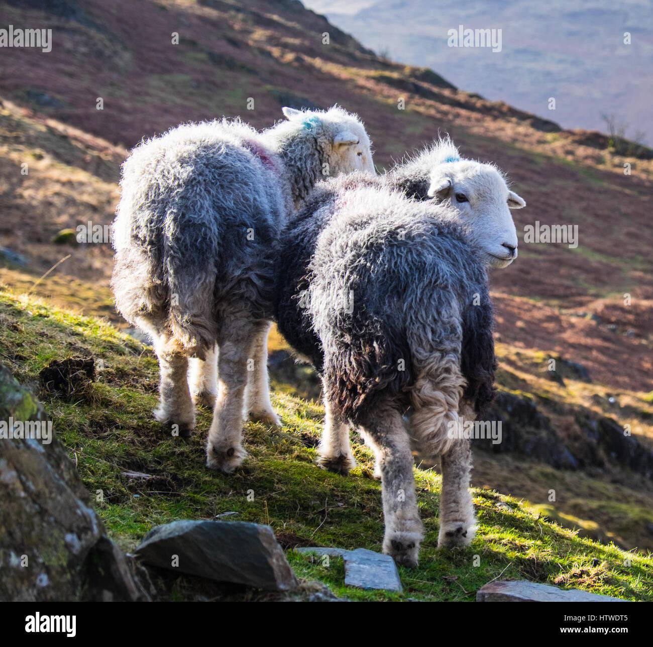 Herdwick sheep - Stock Image