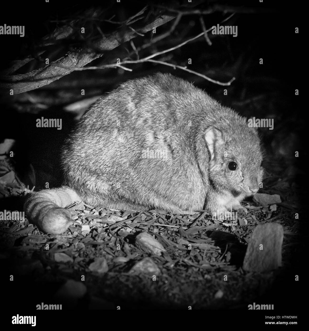 Burrowing Bettong (Bettongia lesueur) - Stock Image